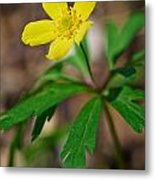 Yellow Wood Anemone Metal Print
