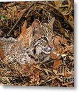 611000006 Bobcat Felis Rufus Wildlife Rescue Metal Print
