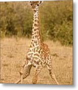 6310 Baby Masai Giraffe Getting Up Metal Print