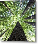 642 Pr A Stand  Of Trees Metal Print