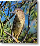 Black-crowned Night Heron (nycticorax Metal Print