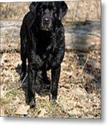 Black Labrador Retriever Metal Print by Linda Freshwaters Arndt