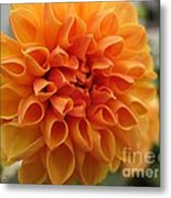 Dahlia From The Showpiece Mix Metal Print
