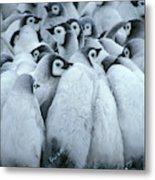 Emperor Penguin Aptenodytes Forsteri Metal Print