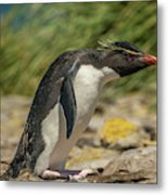 Falkland Islands, Bleaker Island Metal Print