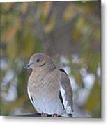 Female White Wing Dove Metal Print
