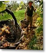 Harvesting In A Vineyard Metal Print