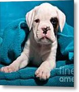 little Boxer dog puppy Metal Print
