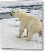 Polar Bear Crossing Ice Floe Metal Print