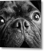 Portrait Of Pug Bulldog Mix Dog Metal Print