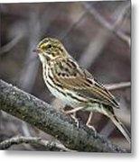 Savannah Sparrow Metal Print