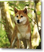 Shiba Inu Dog Metal Print