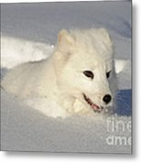 Arctic Fox Metal Print