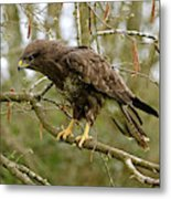 Buse Variable Buteo Buteo Metal Print