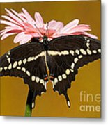 Giant Swallowtail Butterfly Metal Print