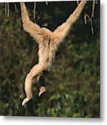 Gibbon A Mains Blanches Hylobates Lar Metal Print