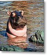 Hippopotamus In River. Serengeti. Tanzania Metal Print