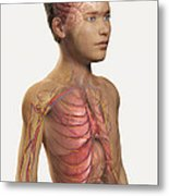 Internal Anatomy Pre-adolescent Metal Print