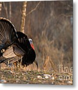 Male Eastern Wild Turkey Metal Print