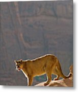 Mountain Lions In The Western Mountains Metal Print