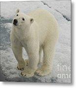 Polar Bear Crossing Ice Floe Metal Print