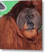 Portrait Of A Large Male Orangutan Metal Print