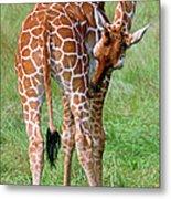 Reticulated Giraffe Metal Print