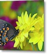 Spicebush Swallowtail, Papilio Troilus Metal Print