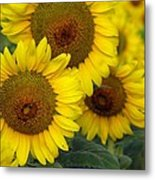 Sunflower Series Metal Print