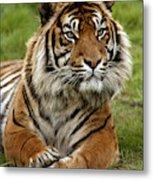 Tigre De Sumatra Panthera Tigris Metal Print