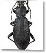 Ground Beetle Metal Print