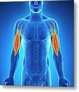 Human Arm Muscles Metal Print