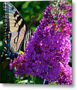 Yellow Tiger Swallowtail Papilio Glaucus Butterfly  Metal Print