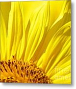 #923 D718 You Are My Sunshine. Sunflower On Colby Farm Metal Print