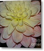#928 D809 Dahlia Pink White Yellow Dahlia Thoughts Of You Metal Print