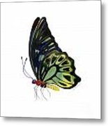 97 Perched Kuranda Butterfly Metal Print by Amy Kirkpatrick