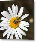 A Beattle On A Daisy Metal Print