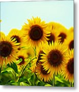 A Beautiful Sunflower Field Metal Print