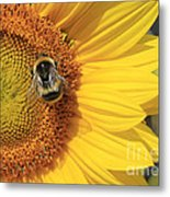 A Bee Gathering Pollen On A Sun Flower Metal Print