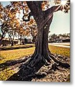 A Big  Tree Trunk Of Long Beach In The Autumn Metal Print