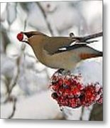 A Bohemian Waxwing Feeding On Mountain Metal Print