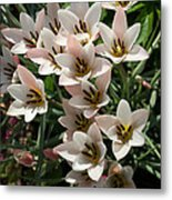 A Bouquet Of Miniature Tulips Celebrating The Spring Season - Vertical Metal Print