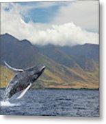 A Breaching Humpback Whale  Megaptera Metal Print