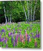 A Breathless Moment Among Lupine Metal Print