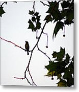 A Brown Thrasher Sings In Sycamore Tree Metal Print