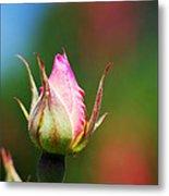 A Budding Rose Metal Print