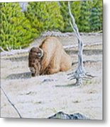 A Buffalo Sits In Yellowstone Metal Print by Michele Myers