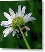 A Bumble On The Wrong Side Metal Print