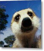 A Close View Of A Meerkats Face Metal Print