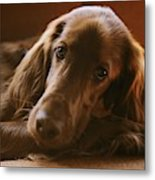 A Close View Of An Irish Setter Metal Print